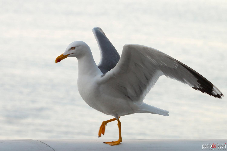 Seagull_Walking_Manarola_Cinque_Terre_It