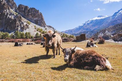 Photo tour Nepal November 2020_Yaks