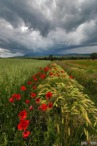 Poppies_Storm_Valdorcia_Tuscany