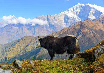 Photo tour Nepal November 2020_Yak