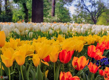 Messer Tulipano, the festival of Tulips
