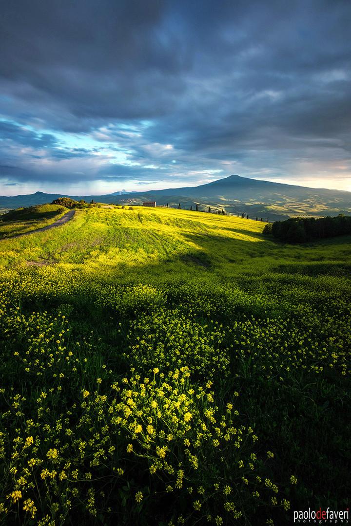 Sunset_canola_flowers_La_Foce_Montepulciano_Tuscany
