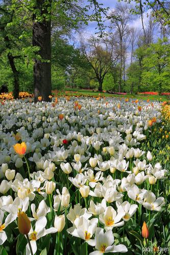 PDF_CTS045_Messer_Tulipano_Tulips_field_