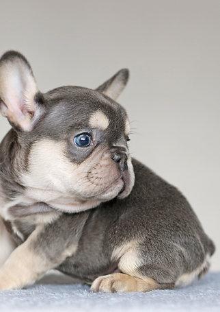 Baloo- blue tan boy