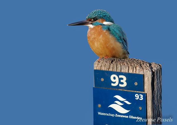 Ijsvogel Plompetoren-2.jpg