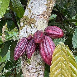 pianta cacao.jpg