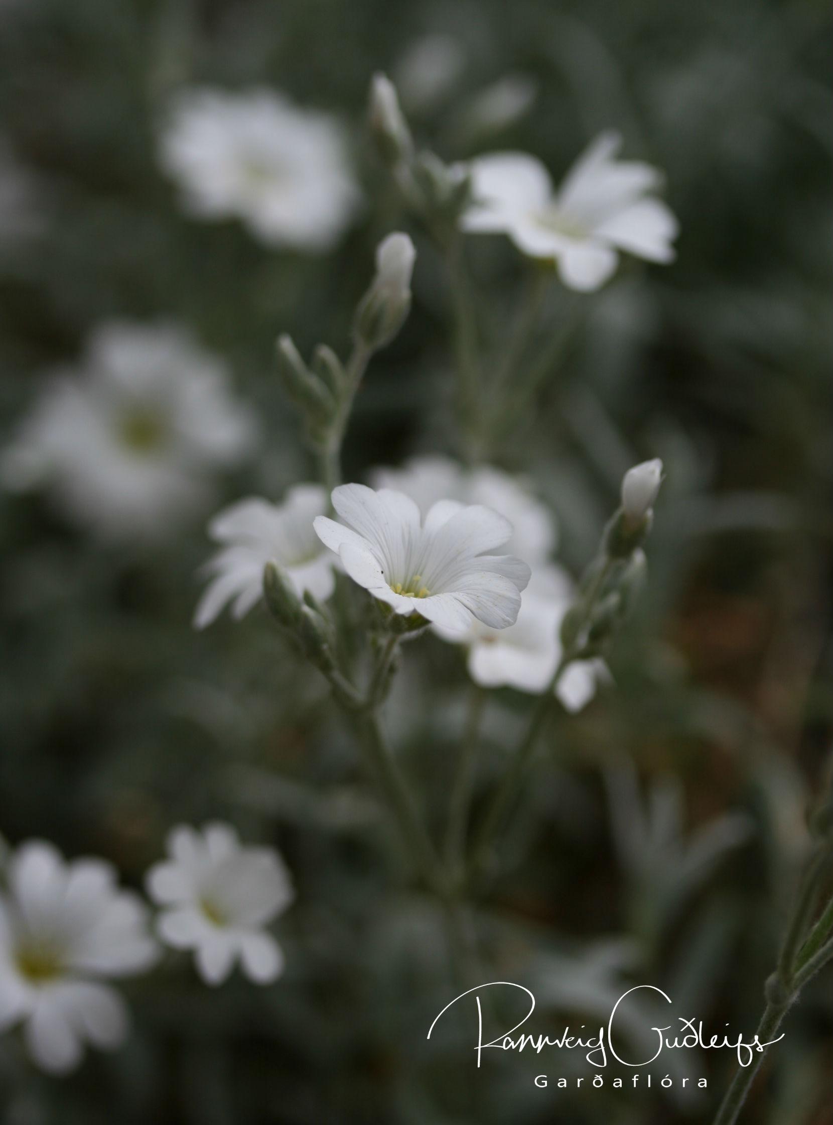 Cerastium biebersteinii