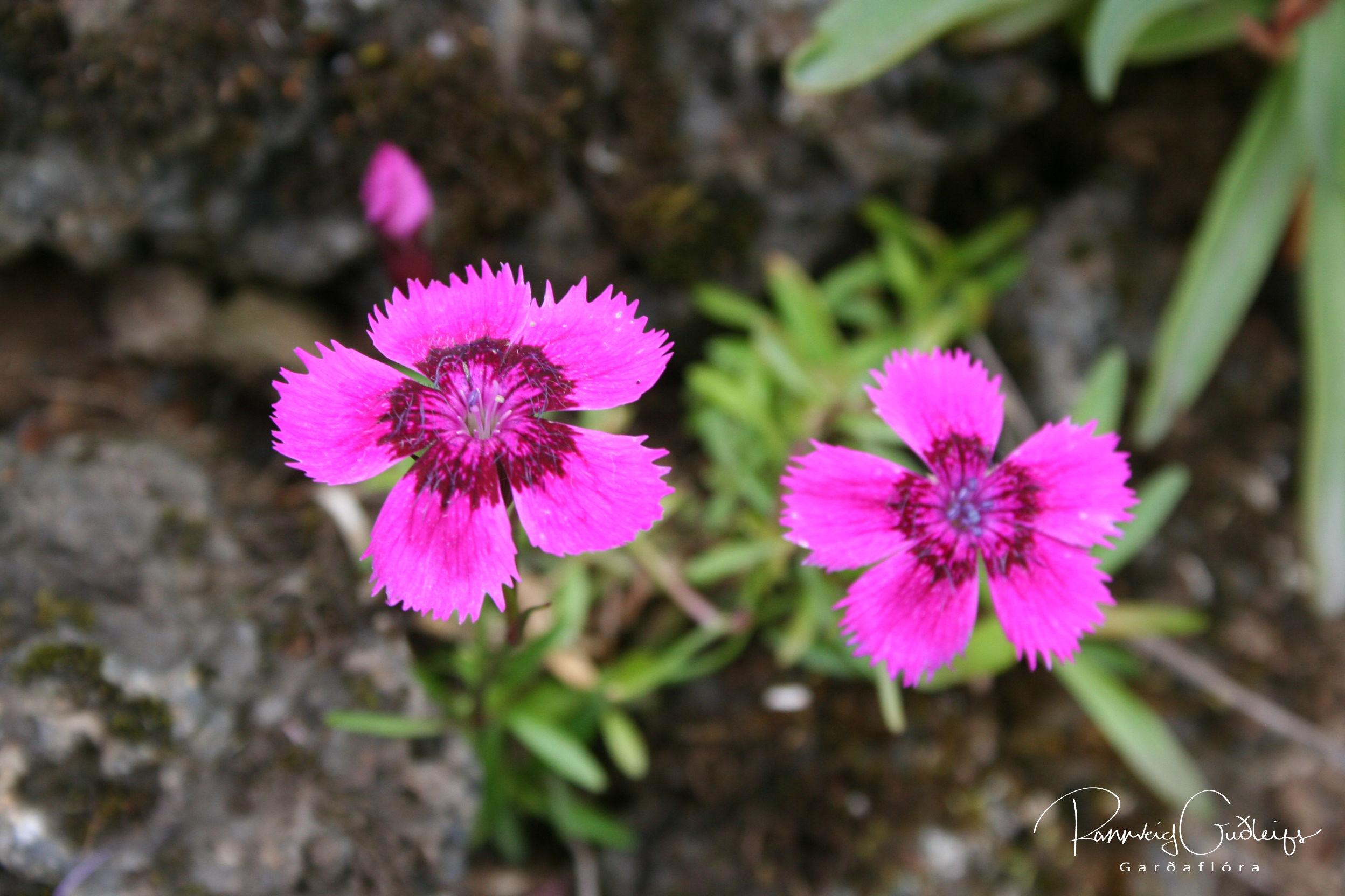 Dianthus alpinus 'Joan's Blood'