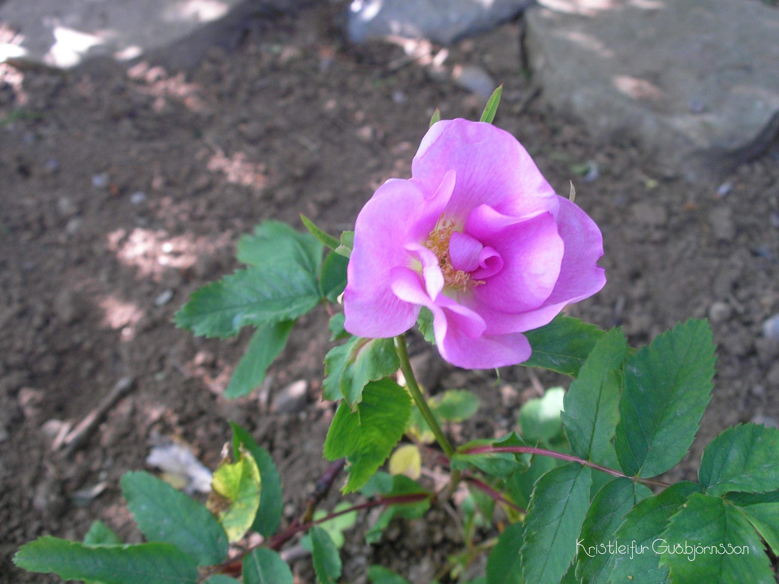Rosa blanda 'Toukoniitty'