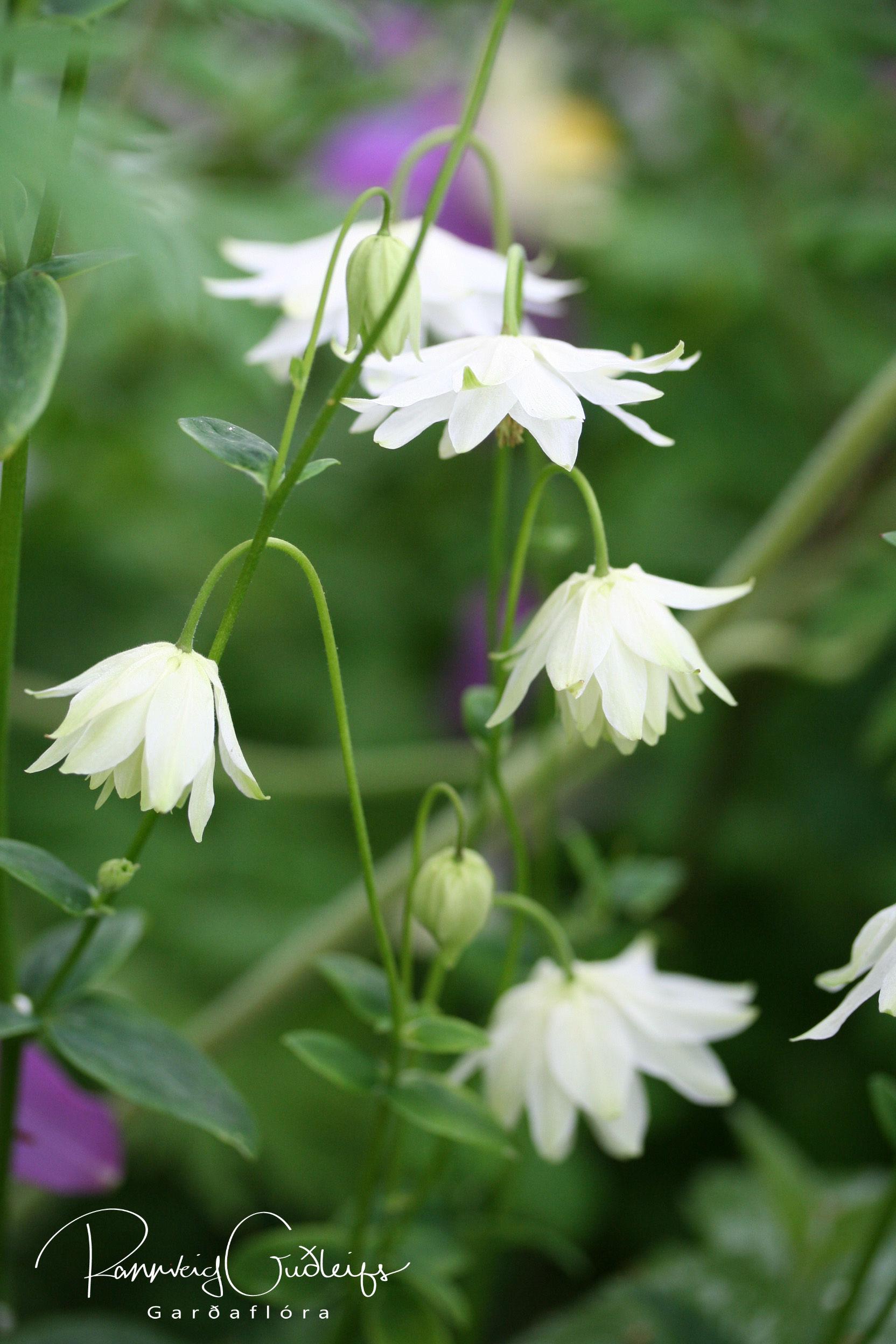 Aquilegia vulgaris 'Clematiflora'