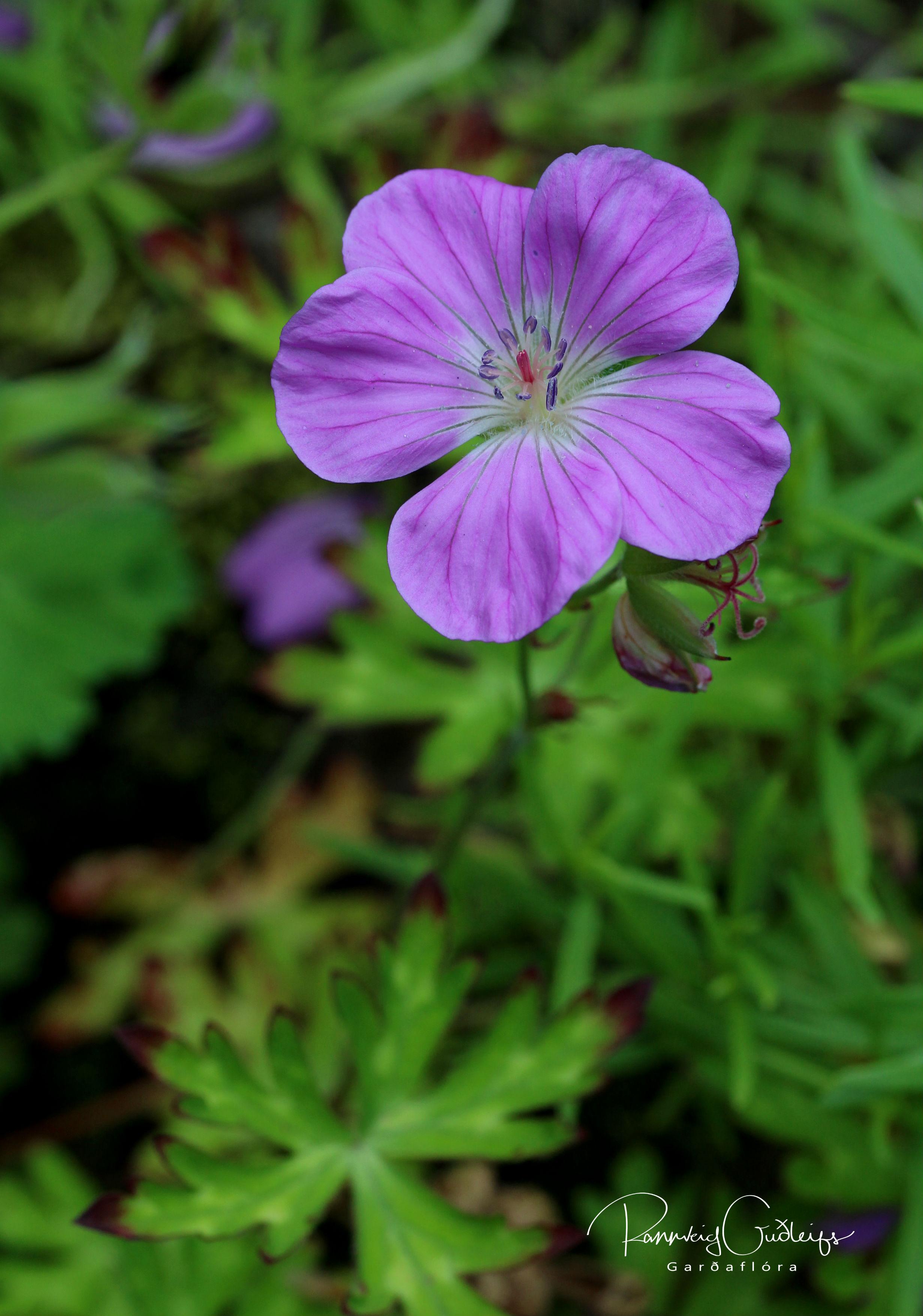 Geranium orientali-tibeticum