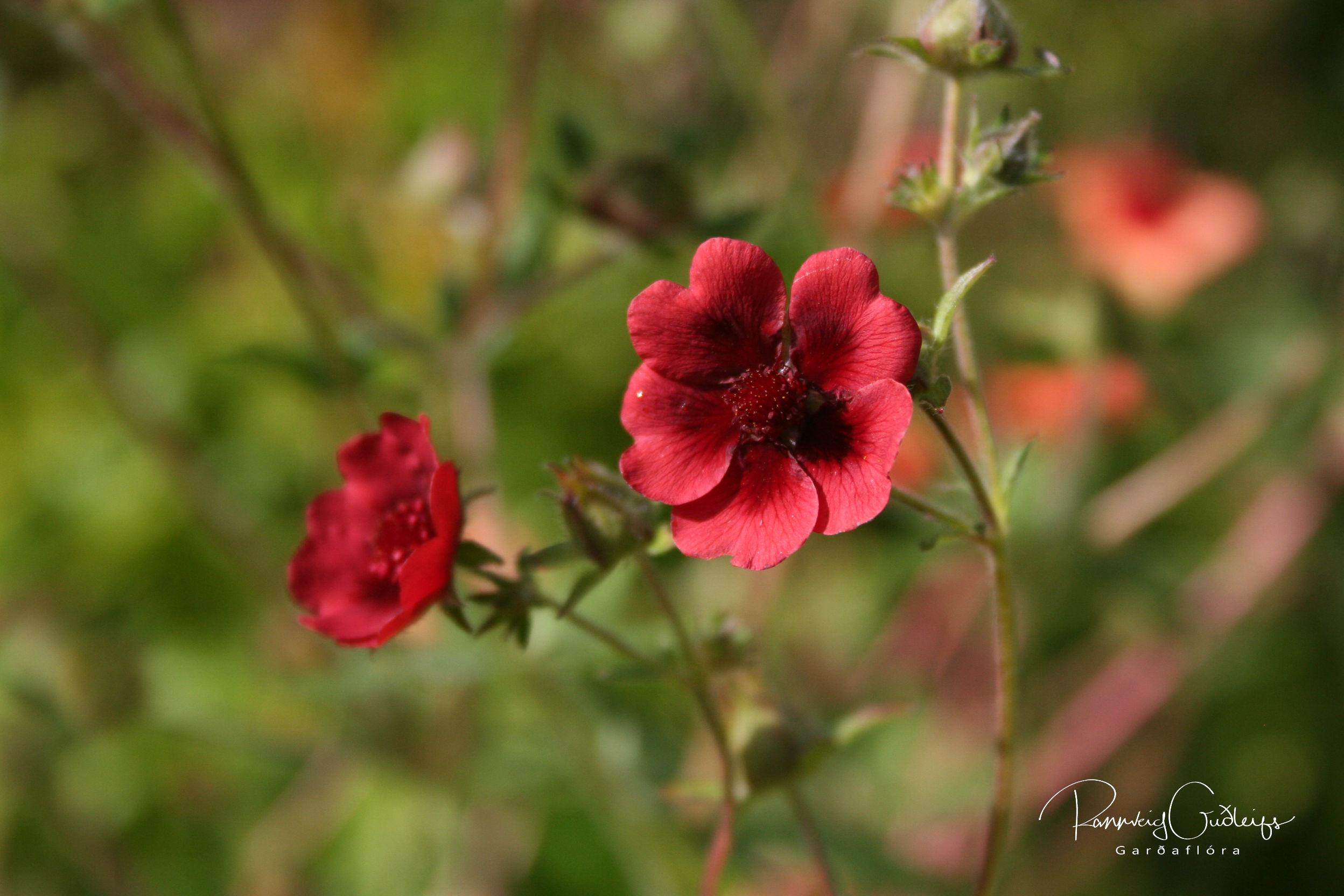 Potentilla thurberi 'Monarch's Velvet'