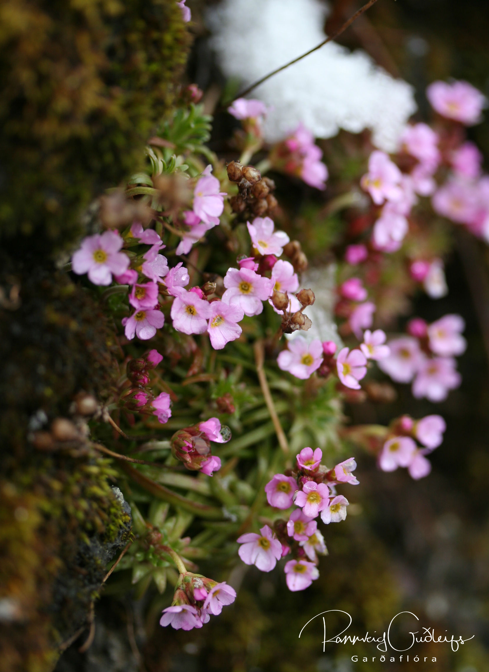 Androsace carnea ssp. rosea