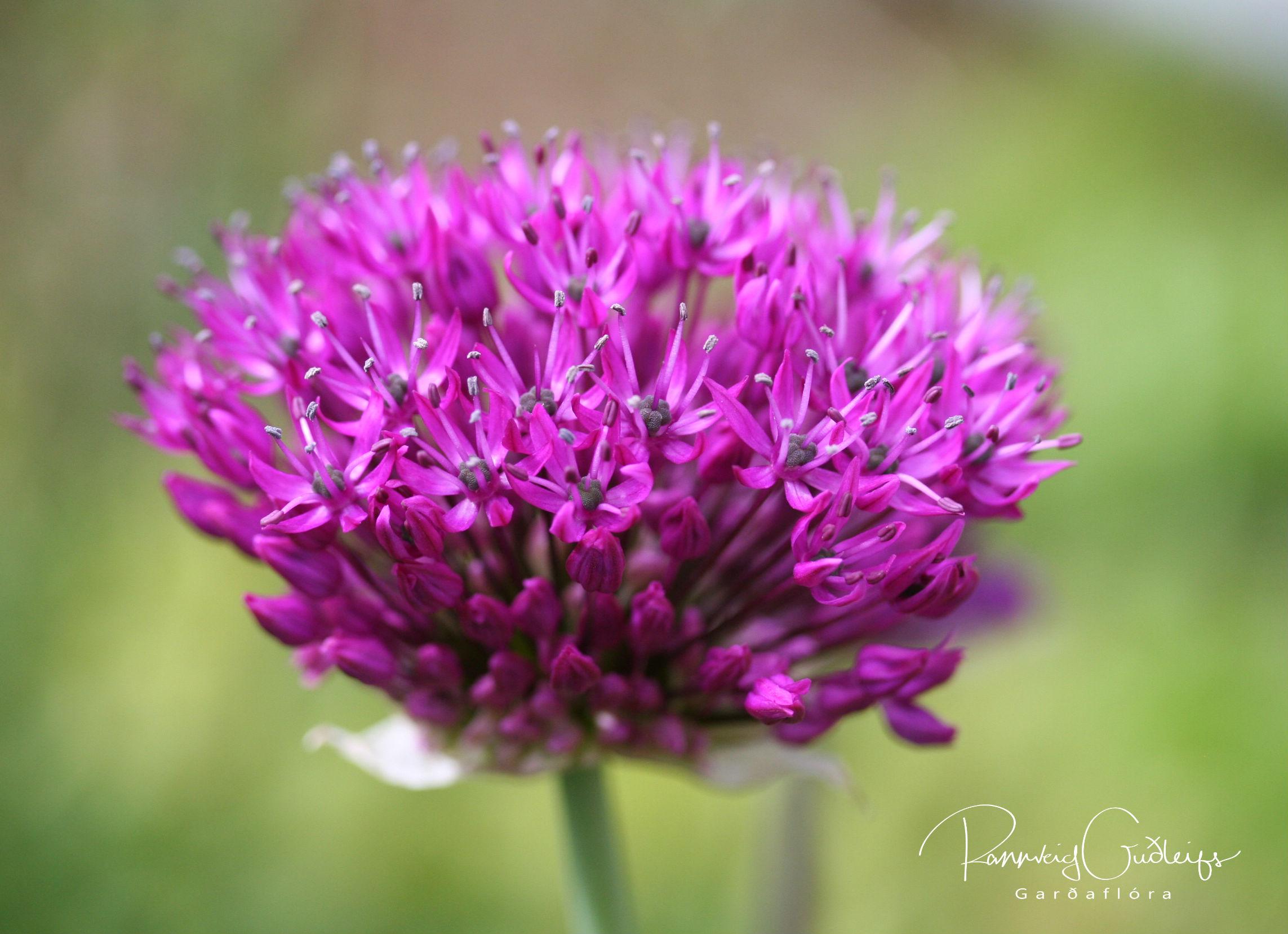 Allium aflatunense