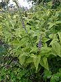 Scutellaria altissima