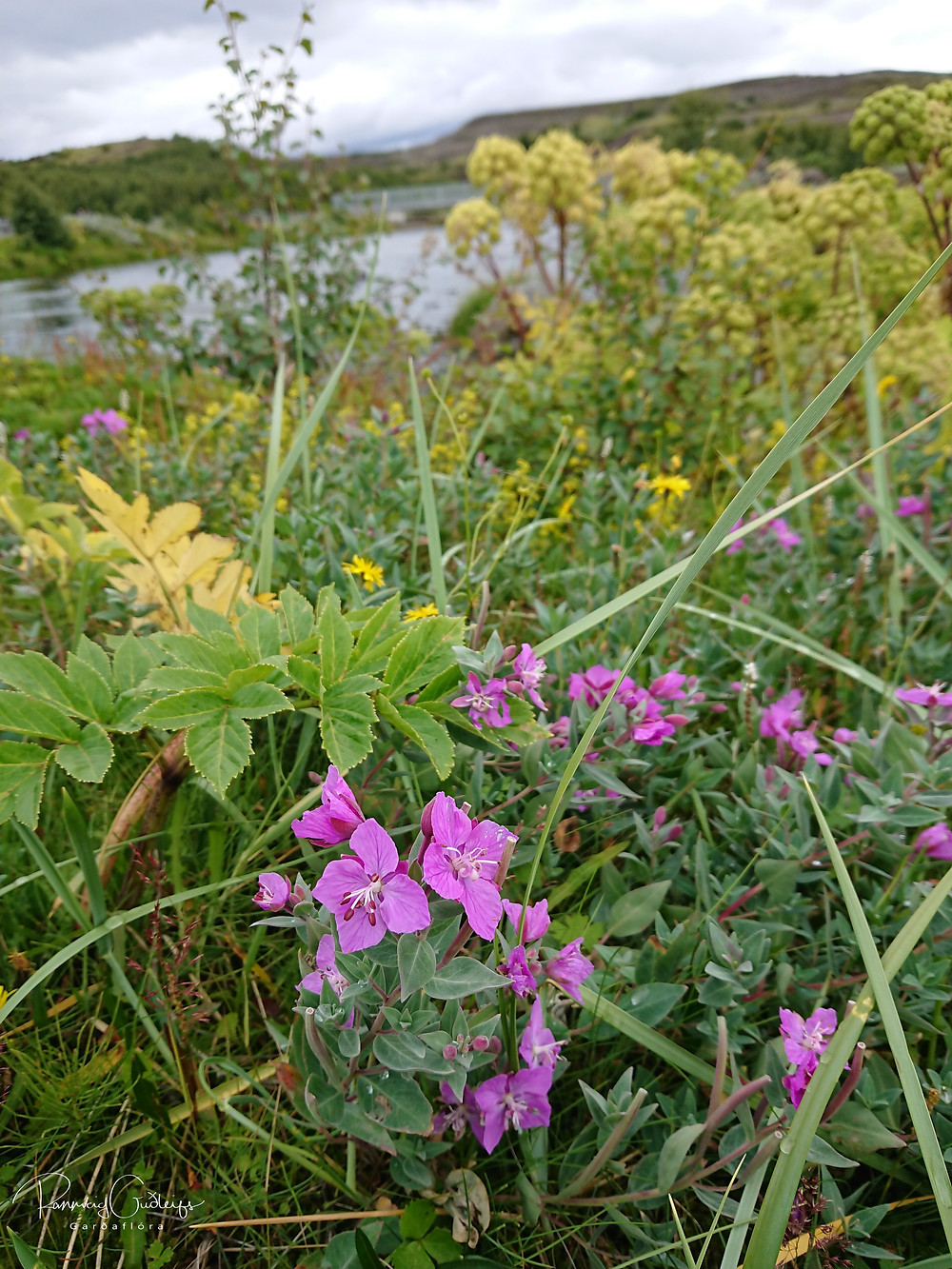 Chamaenerion latifolium, river beauty willowherb, dwarf fireweed, eyrarrós, Iceland flora