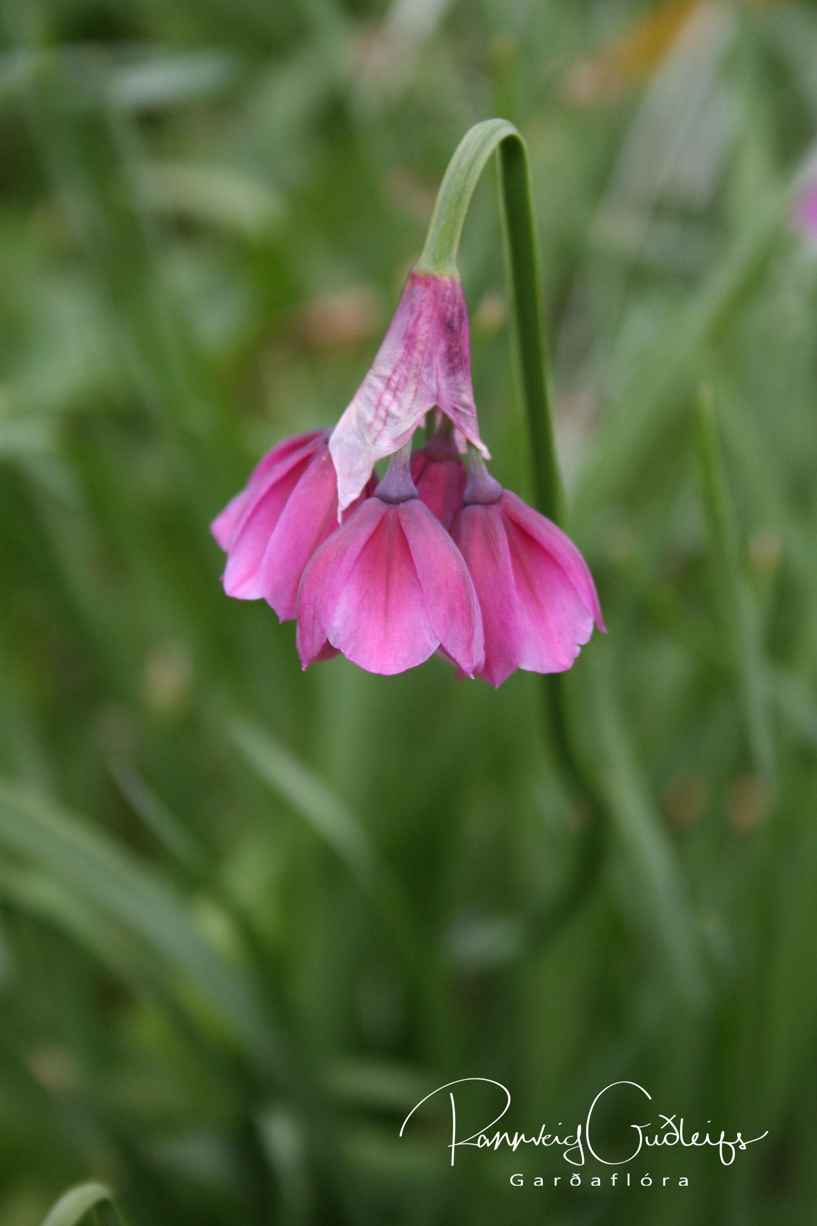 Allium insubricum
