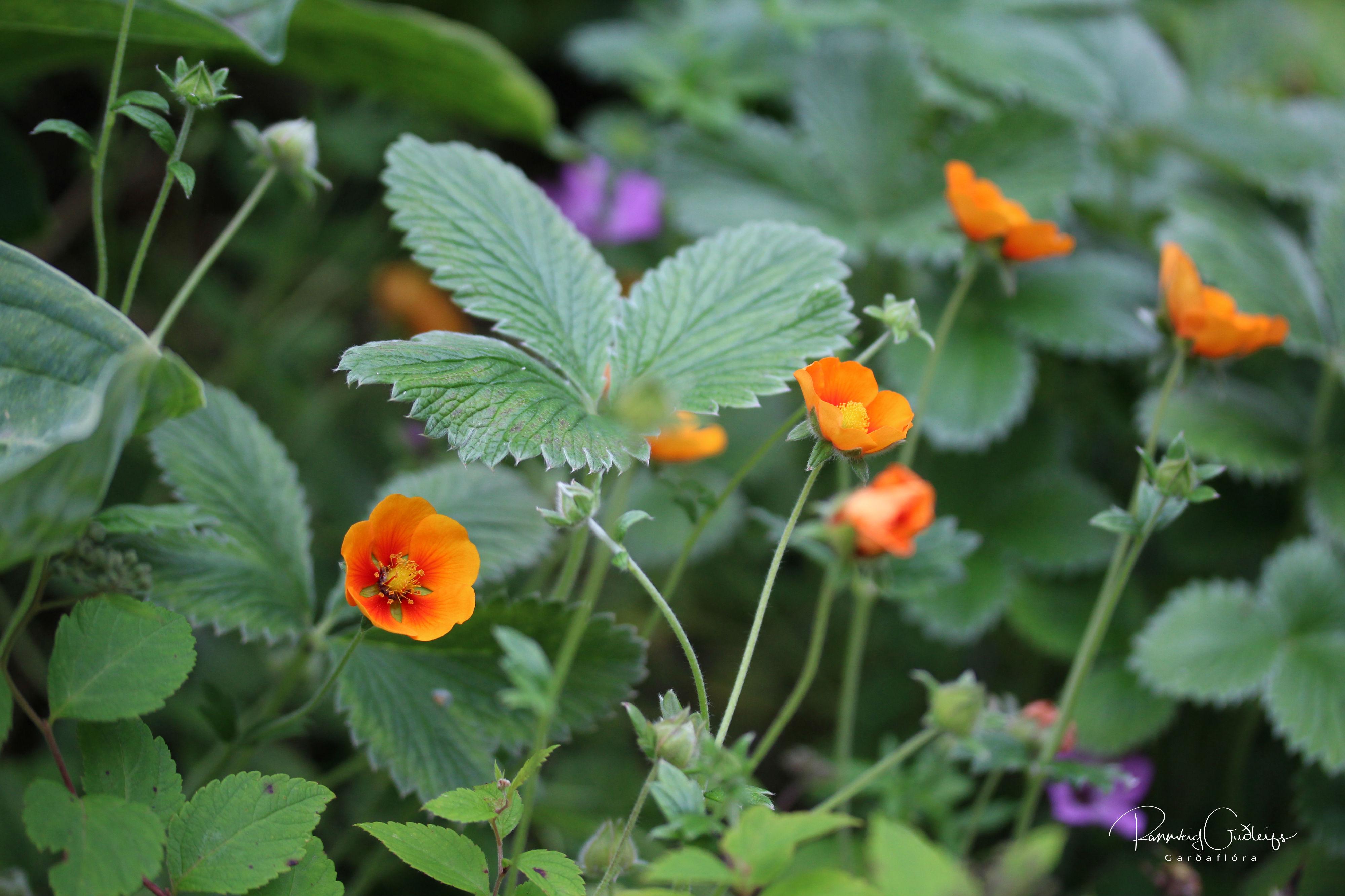 Potentilla atrosanguinea var. argyrophylla