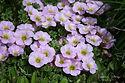 Oxalis enneaphylla 'Rosea'
