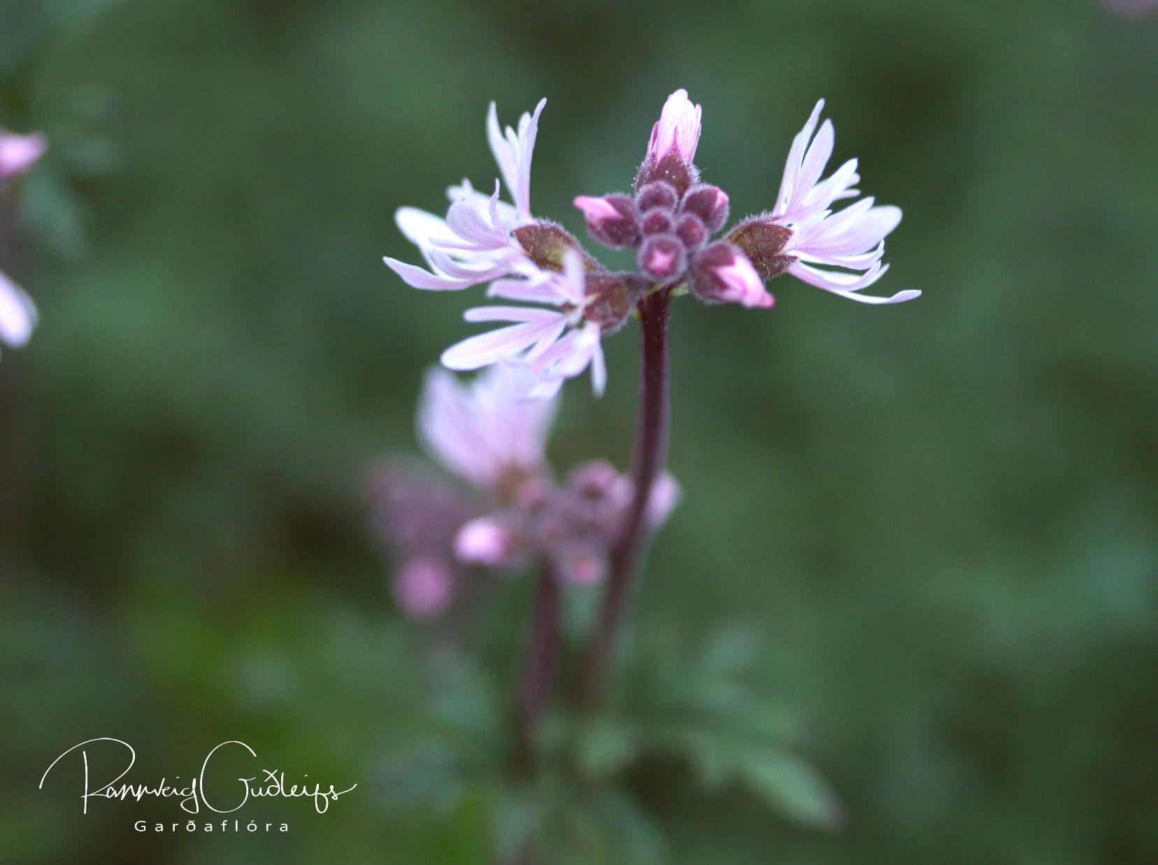 Lithophragma parviflora