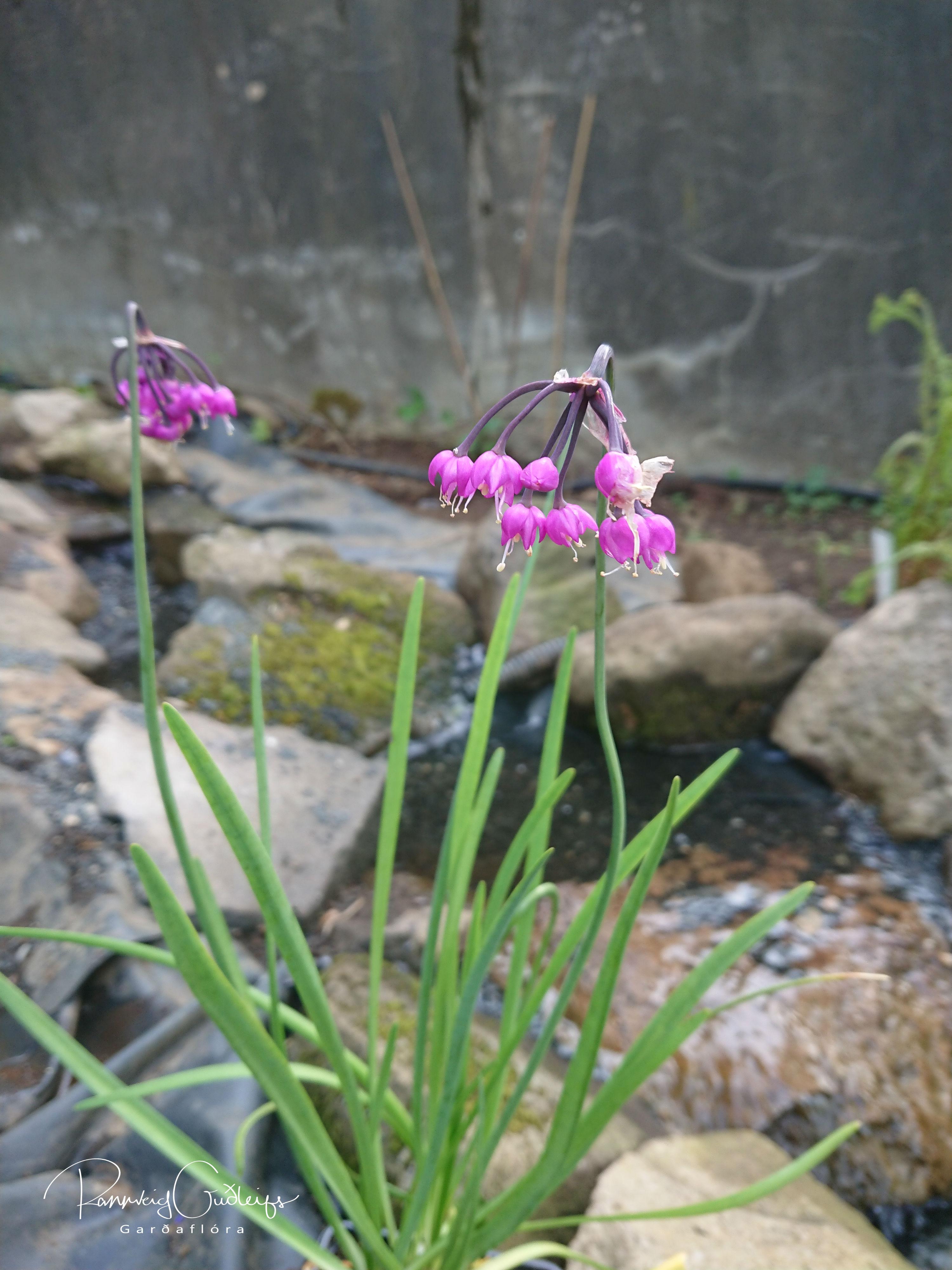 Allium cernuum 'Hidcote'