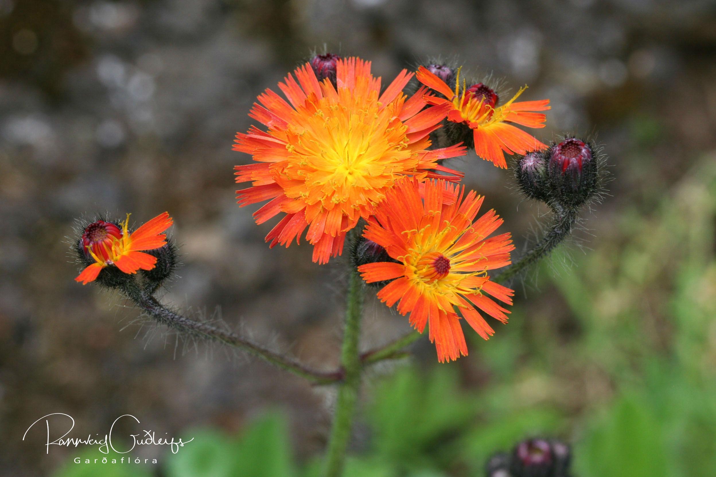 Hieracium aurantiacum (Pilosella aurantiaca)