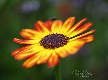 Chrysanthemum - Prestafíflar(I)