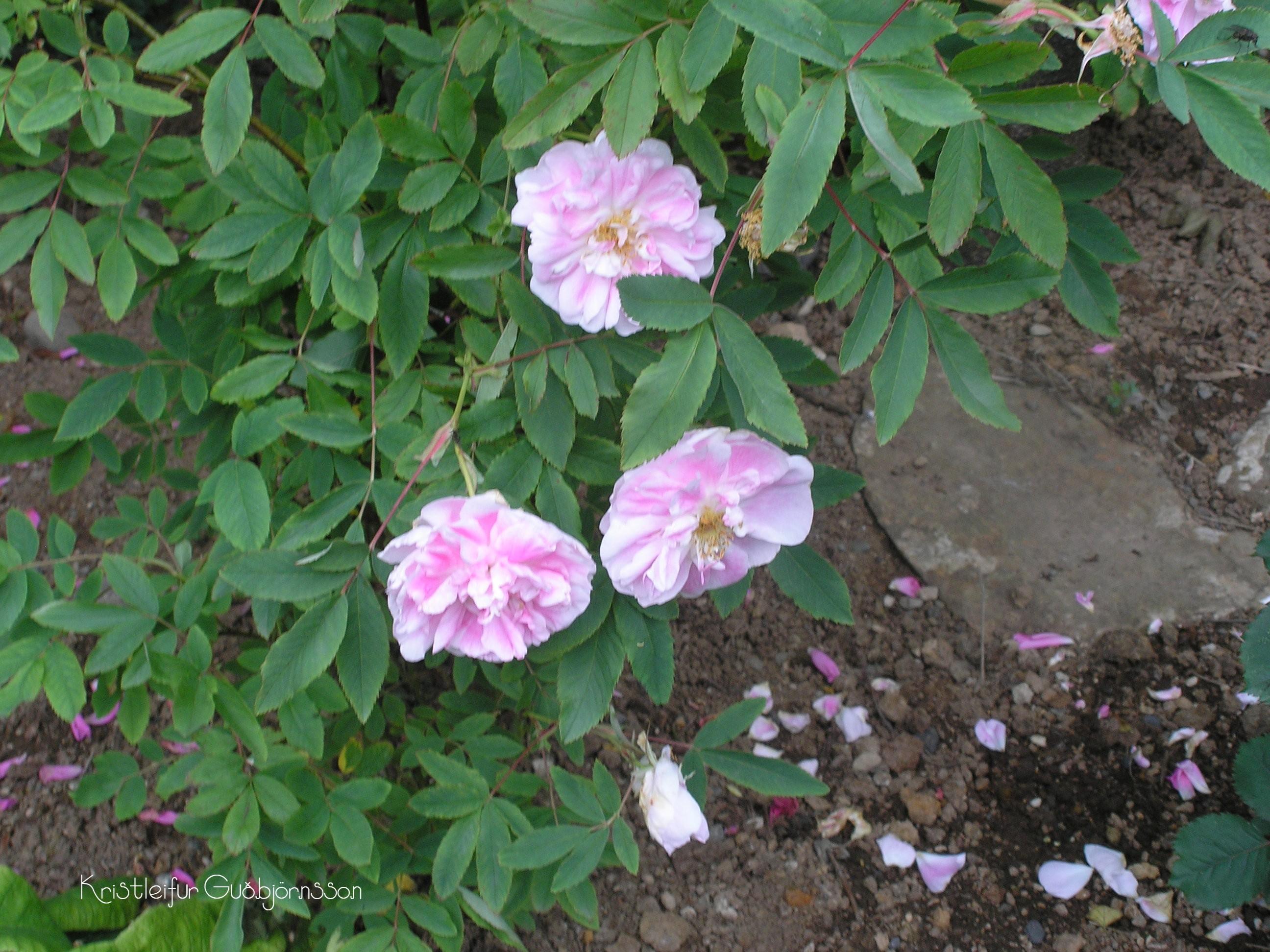 Rosa blanda 'Betty Bland'
