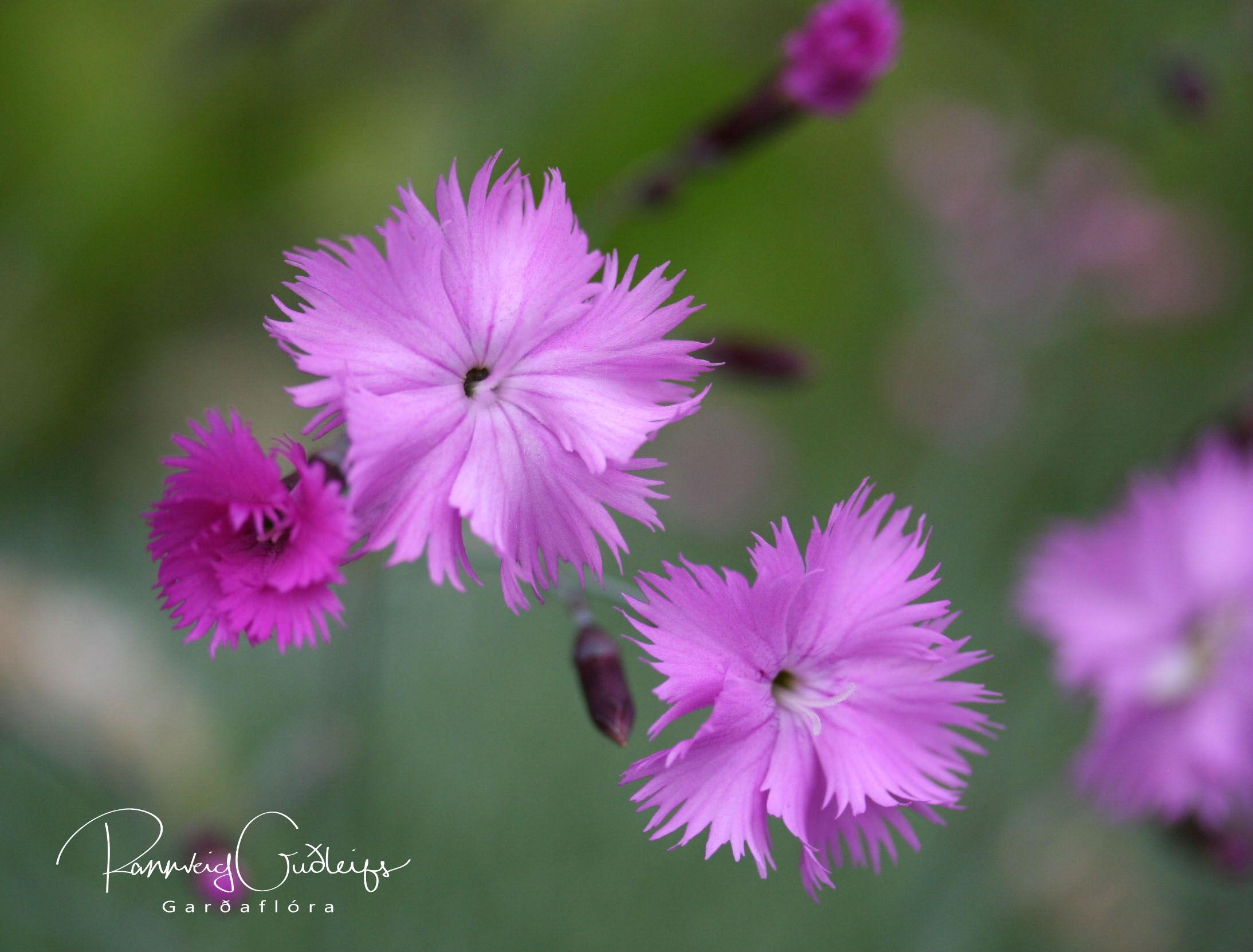 Dianthus plumorius 'Arabella'