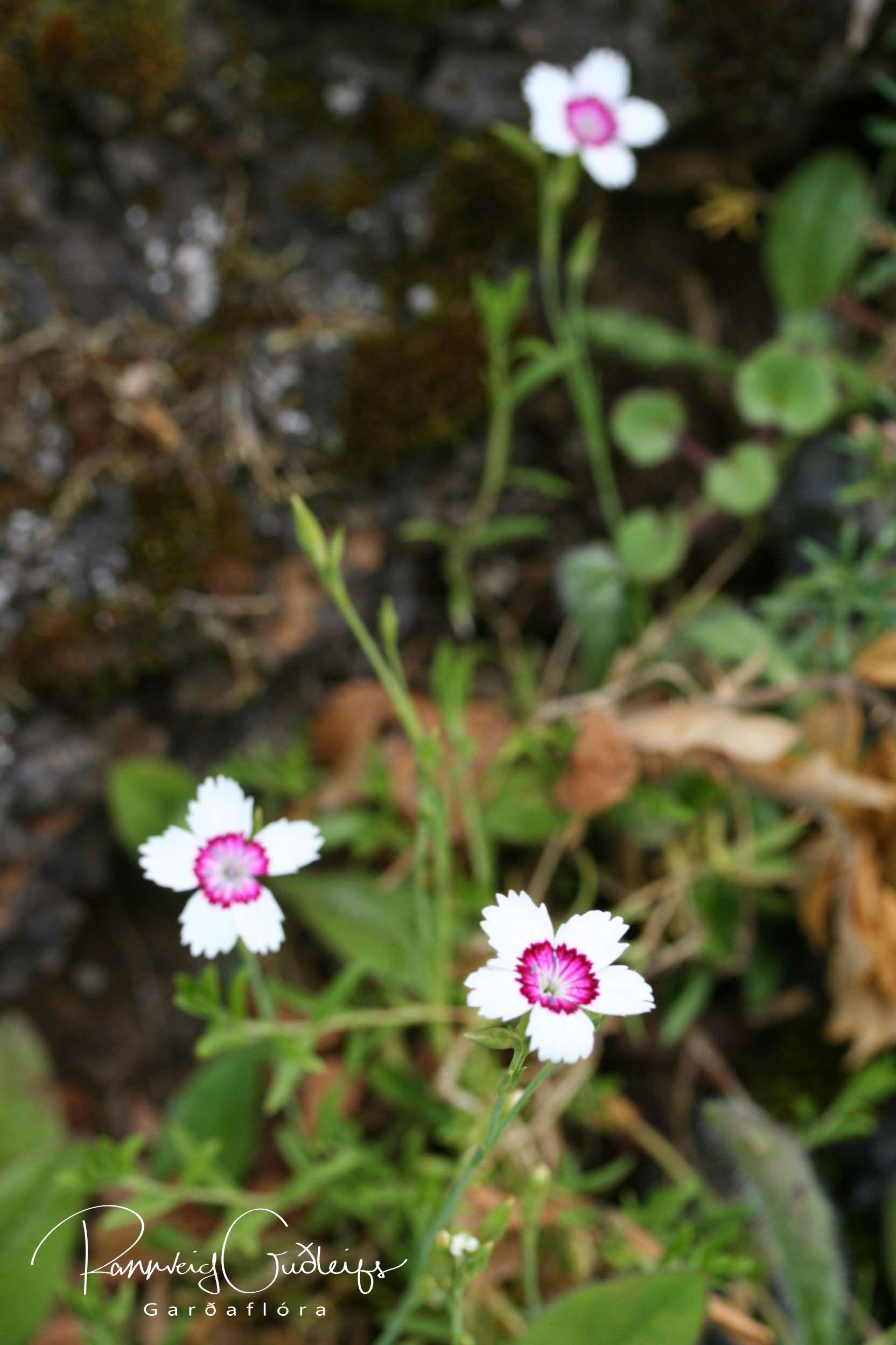 Dianthus deltoides 'Arctic Fire'