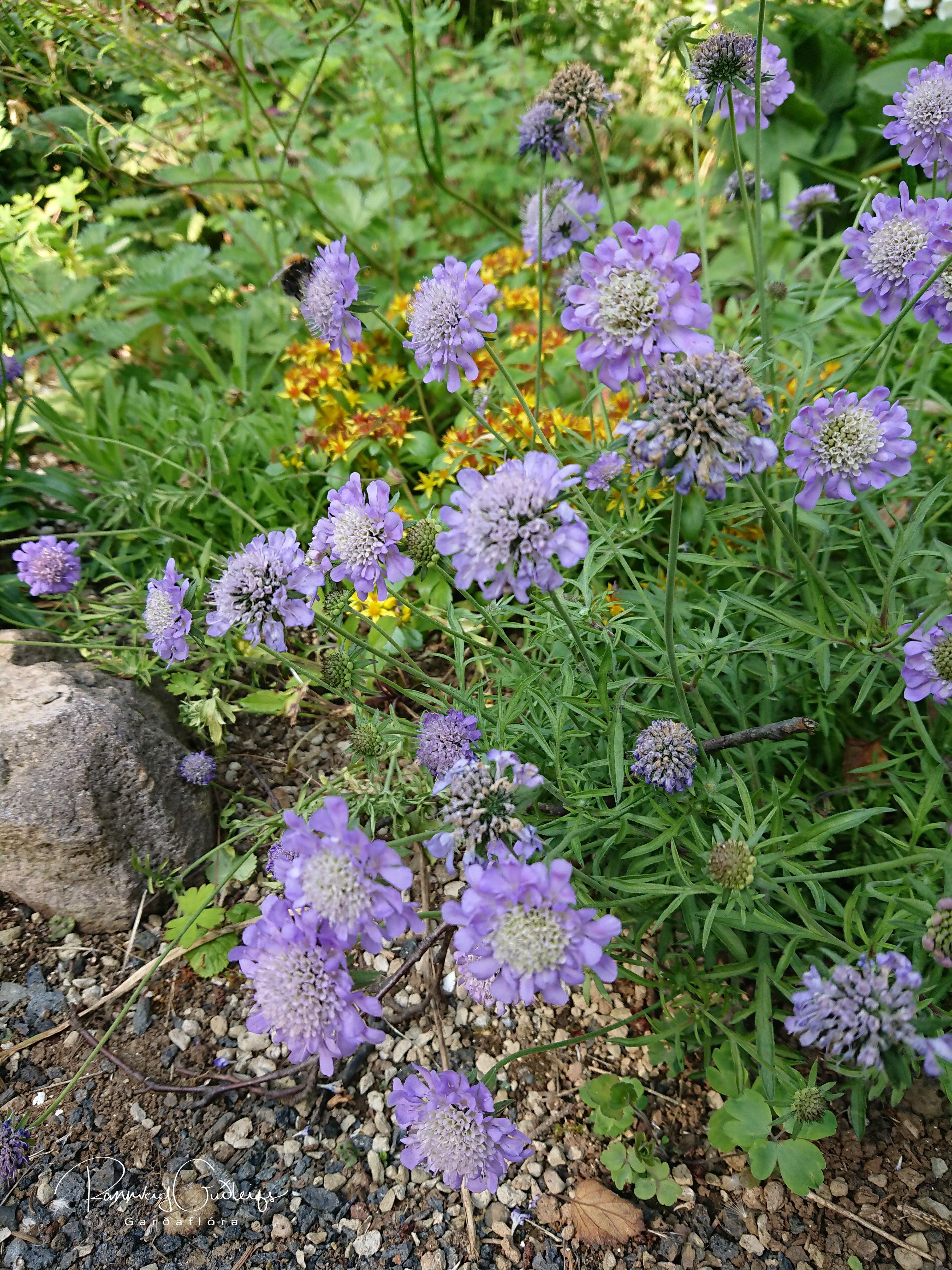 Scabiosa japonica var. alpina