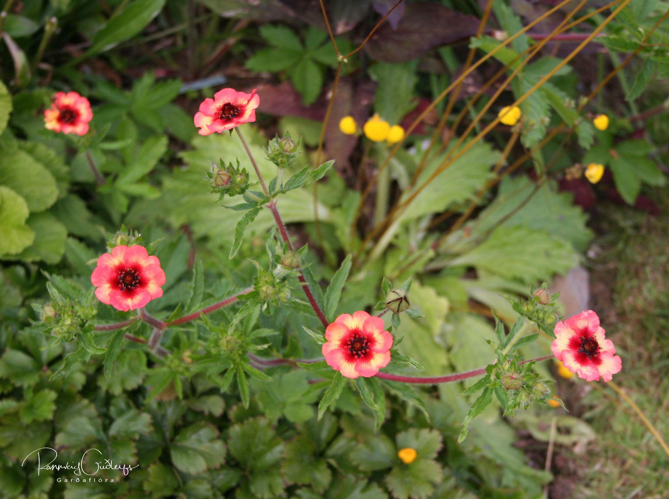 Potentilla nepalensis 'Melton Fire'