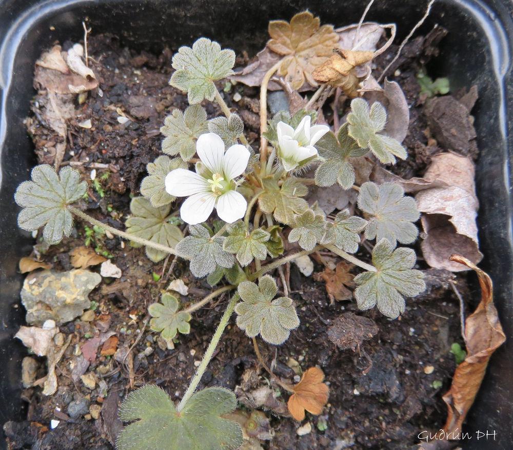 Geranium sessiliflorum ssp. novae-zelandiae 'Nigrescens'