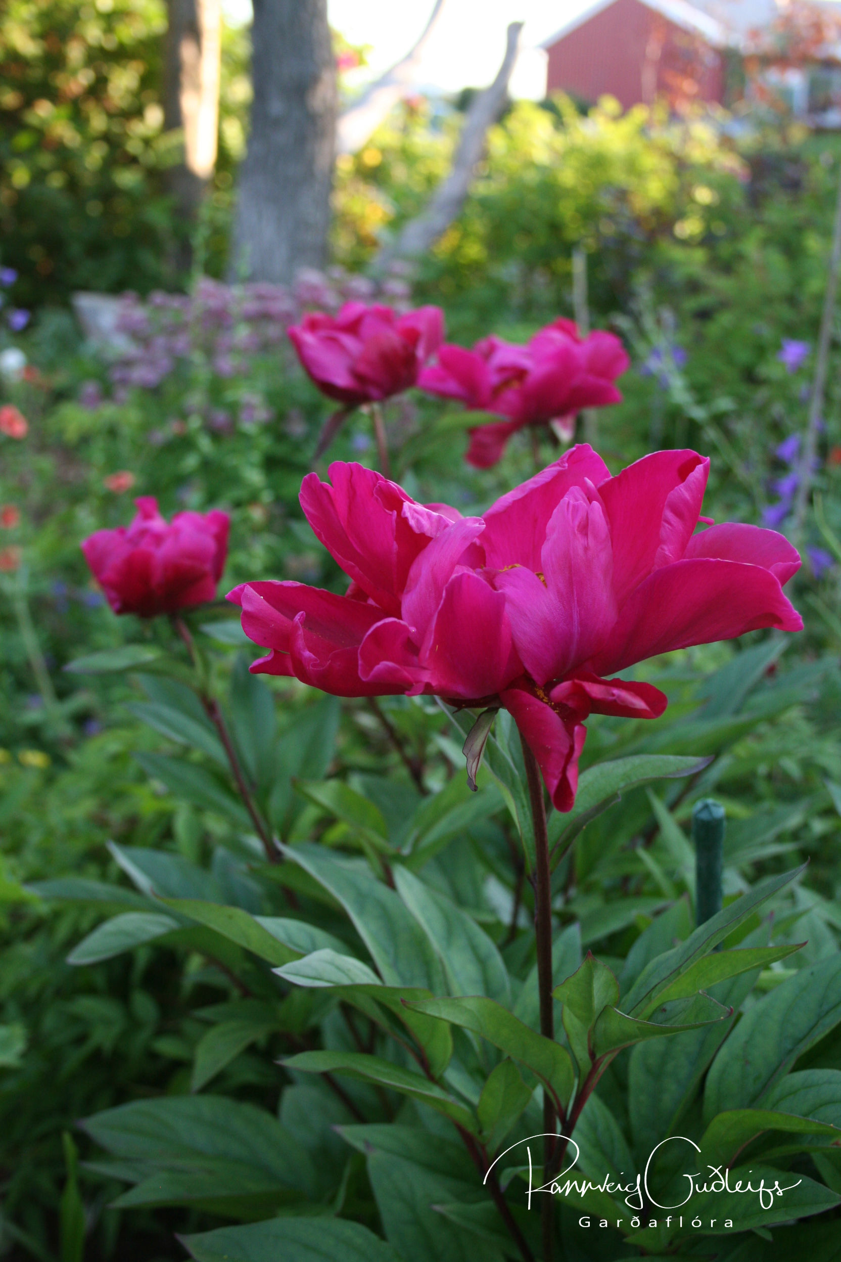 Paeonia lactiflora 'Karl Rosenfeld'