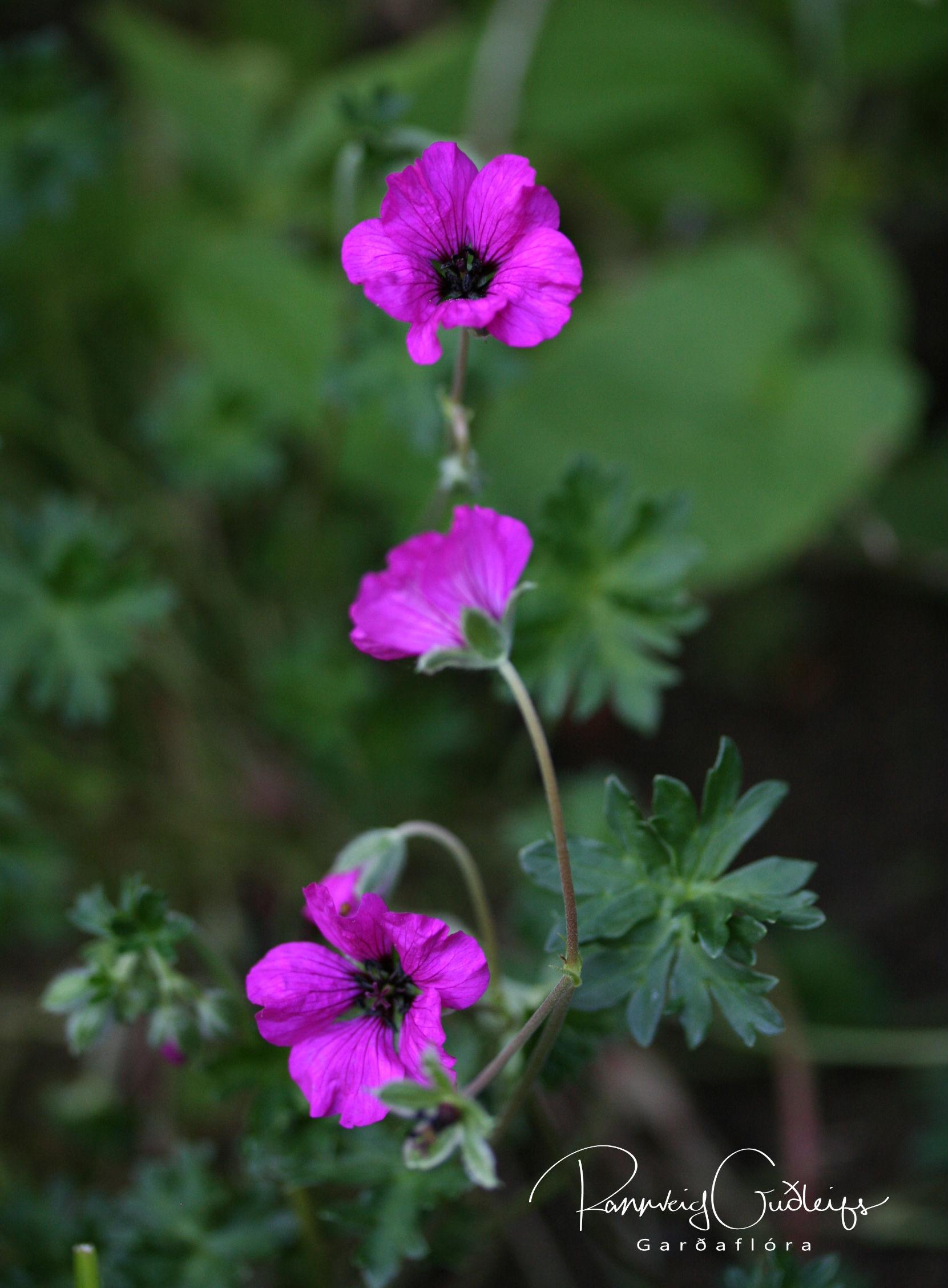Geranium cinereum ssp. subcaulescens