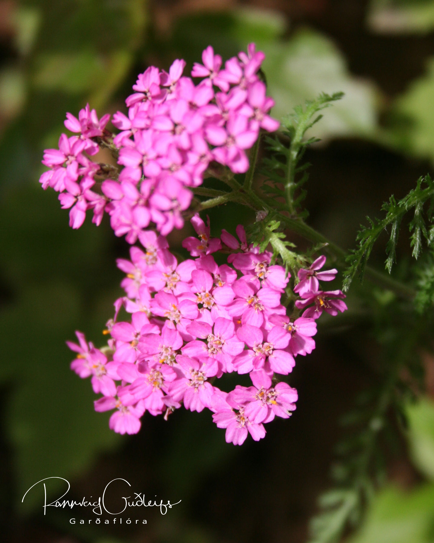 Achillea millefolium 'Summer Berries'