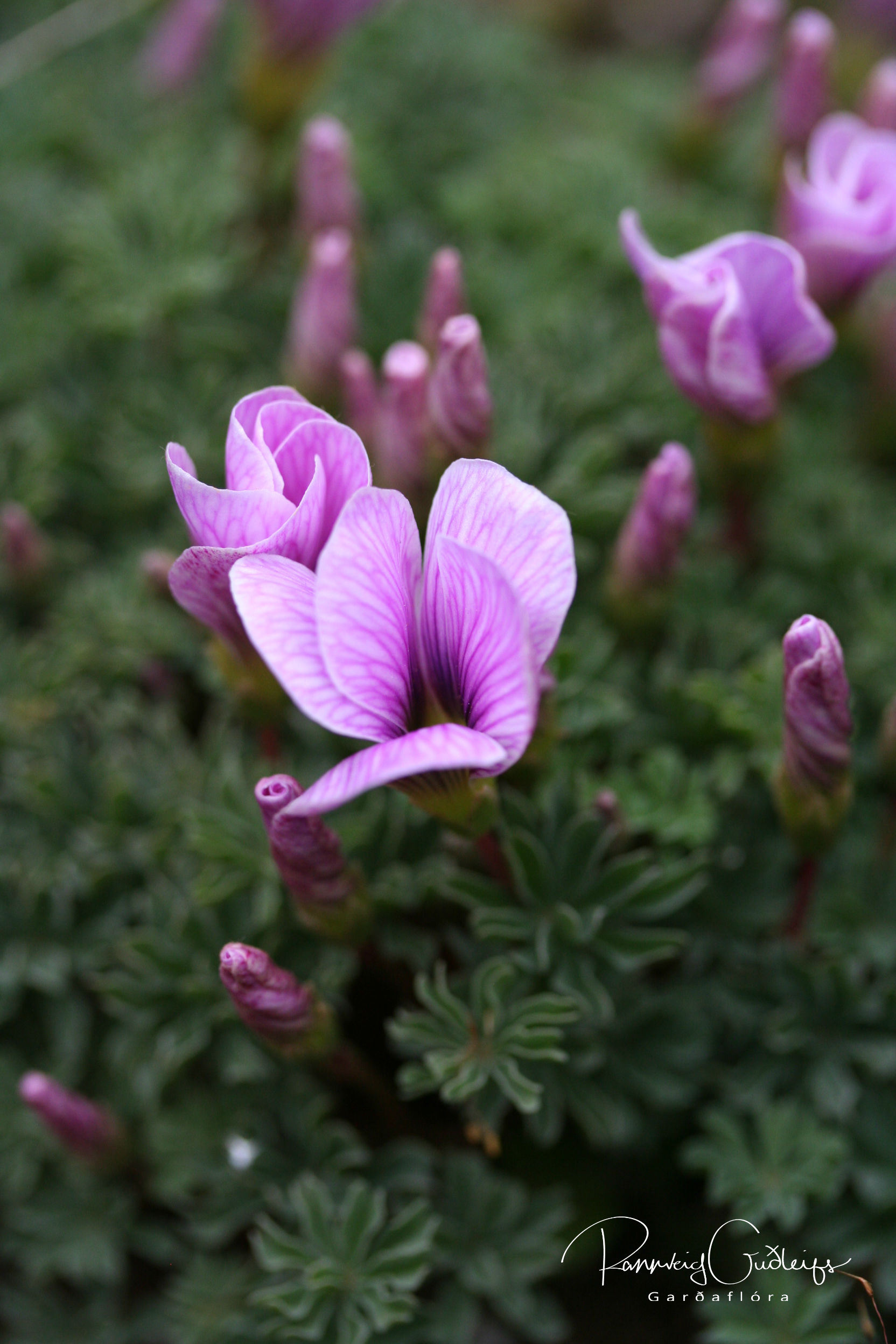 Oxalis enneaphylla 'Ione Hecker'
