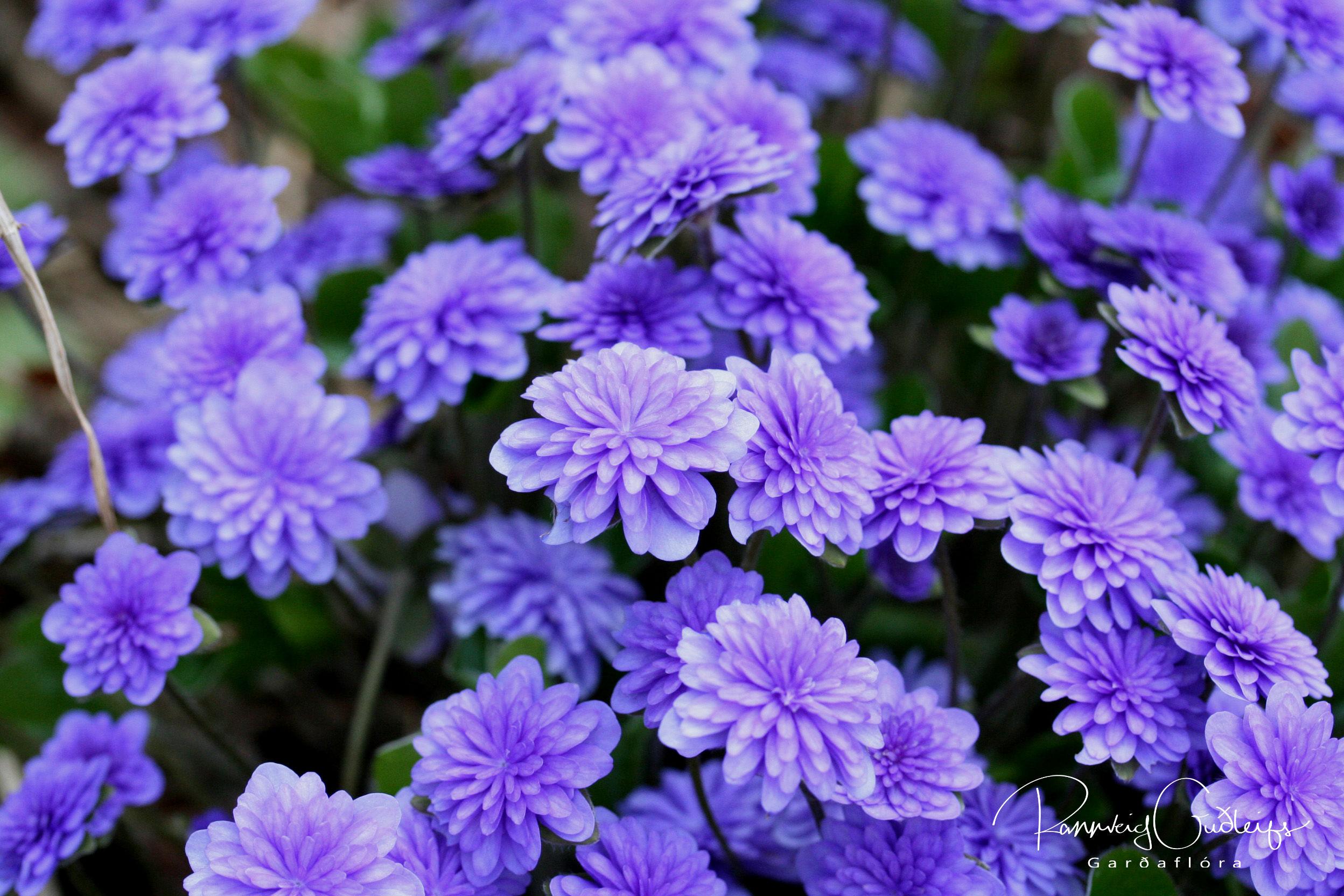 Hepatica nobilis 'Flore Plena'