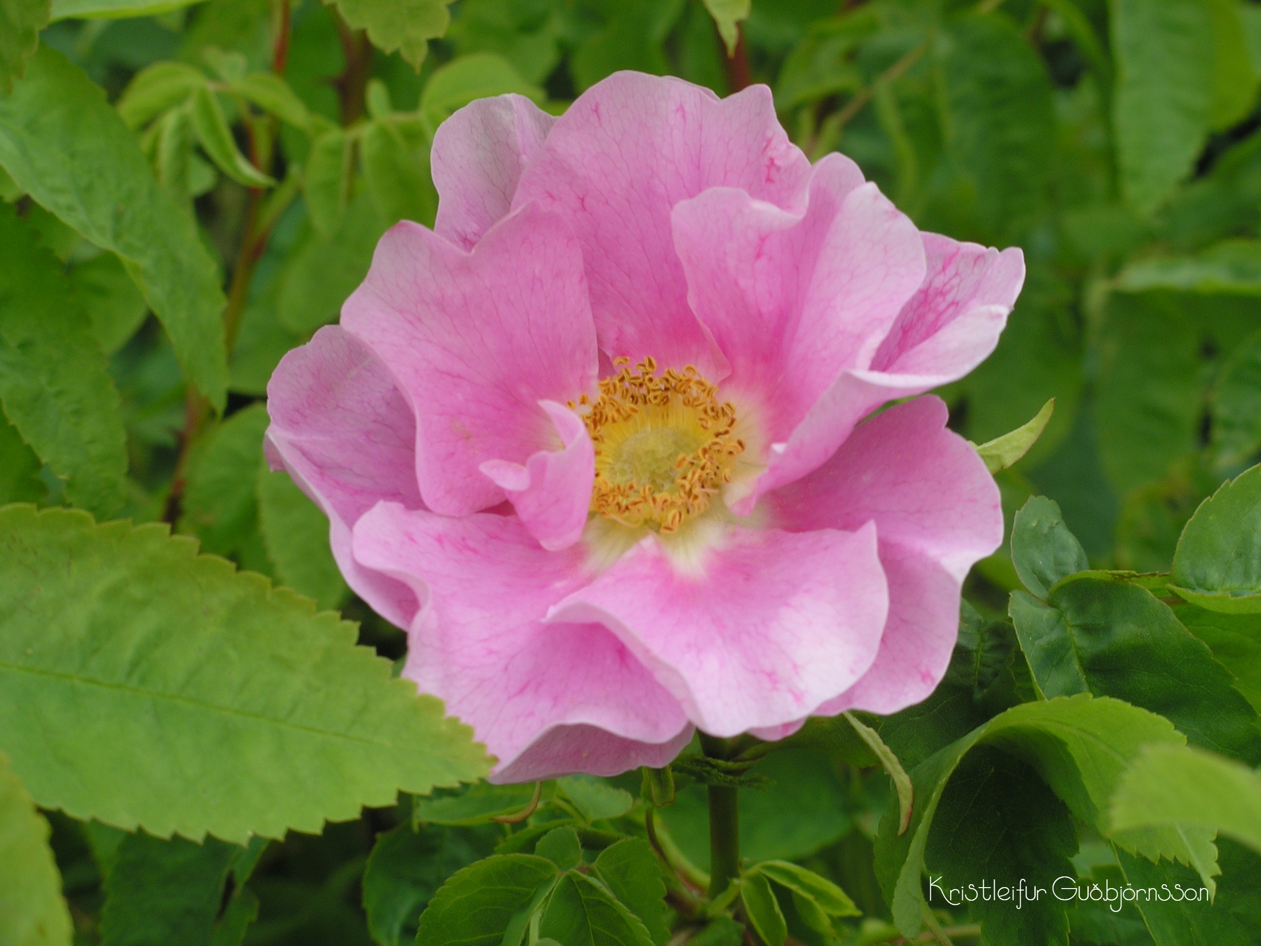 Rosa blanda 'Tarja Halonen'