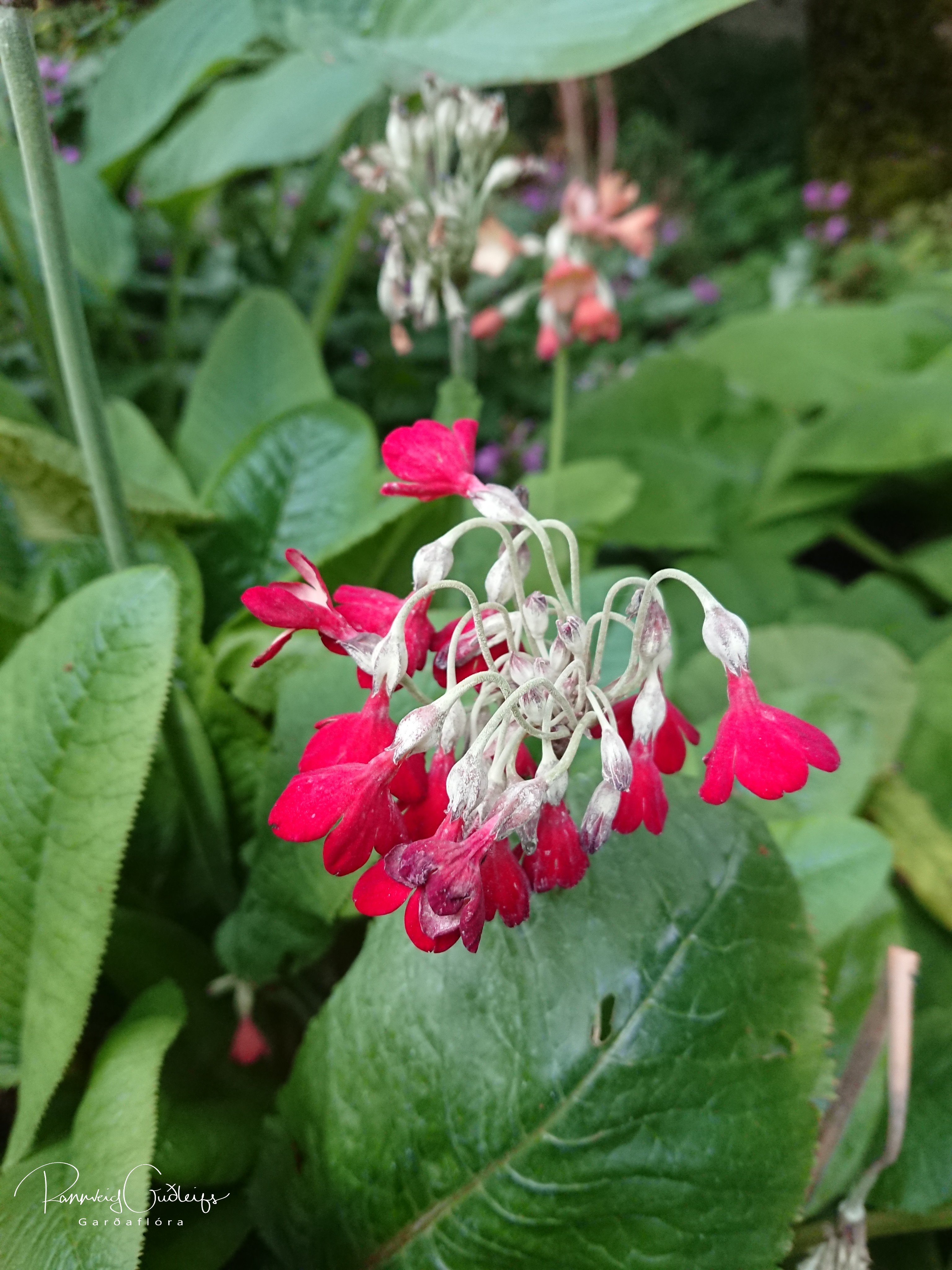 Primula florindae 'Red Shades'