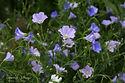 Linum perenne ssp. alpinum