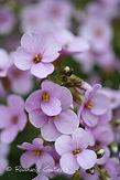 Arabis alpina ssp. caucasica
