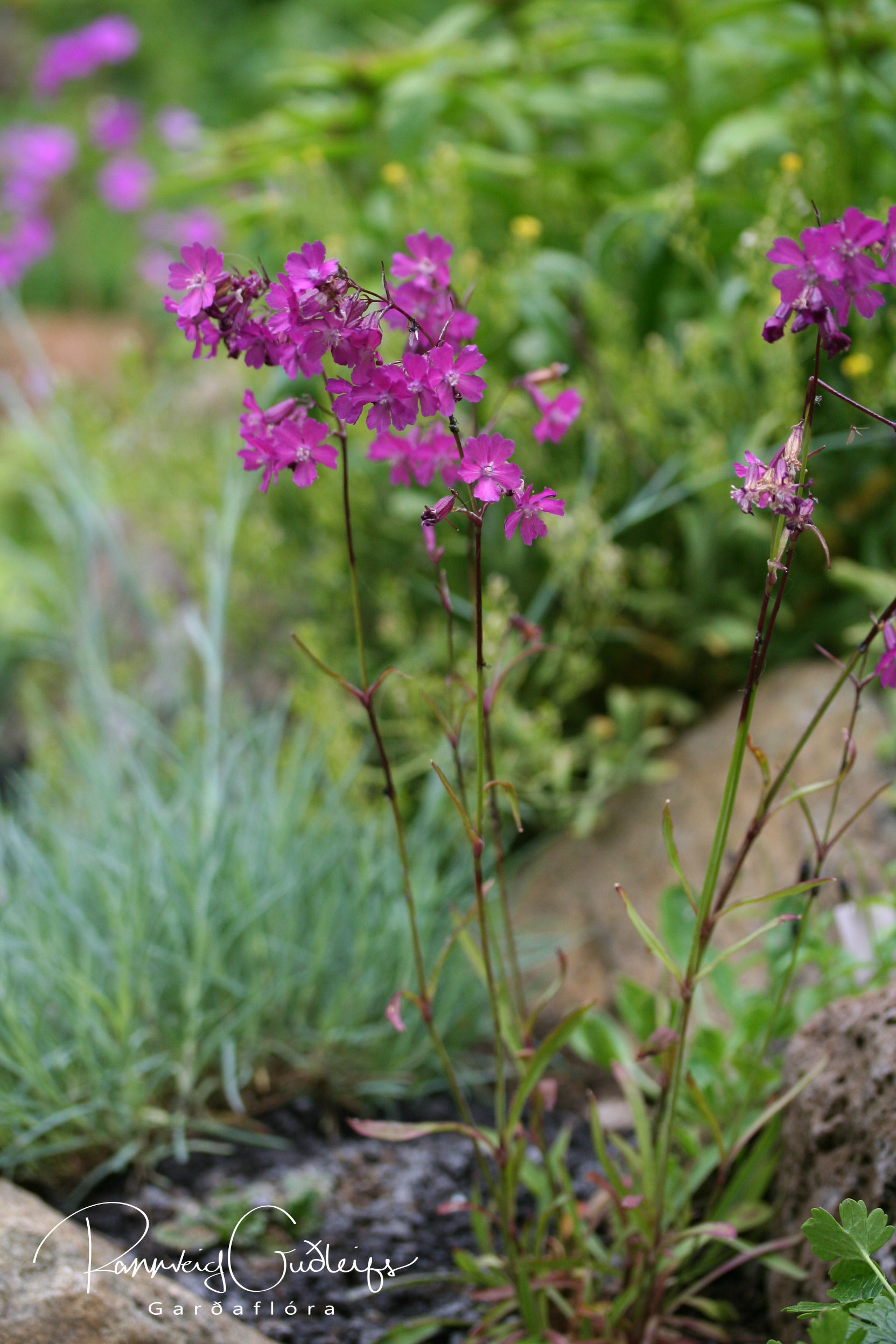 Lychnis viscaria 'Purpurea'
