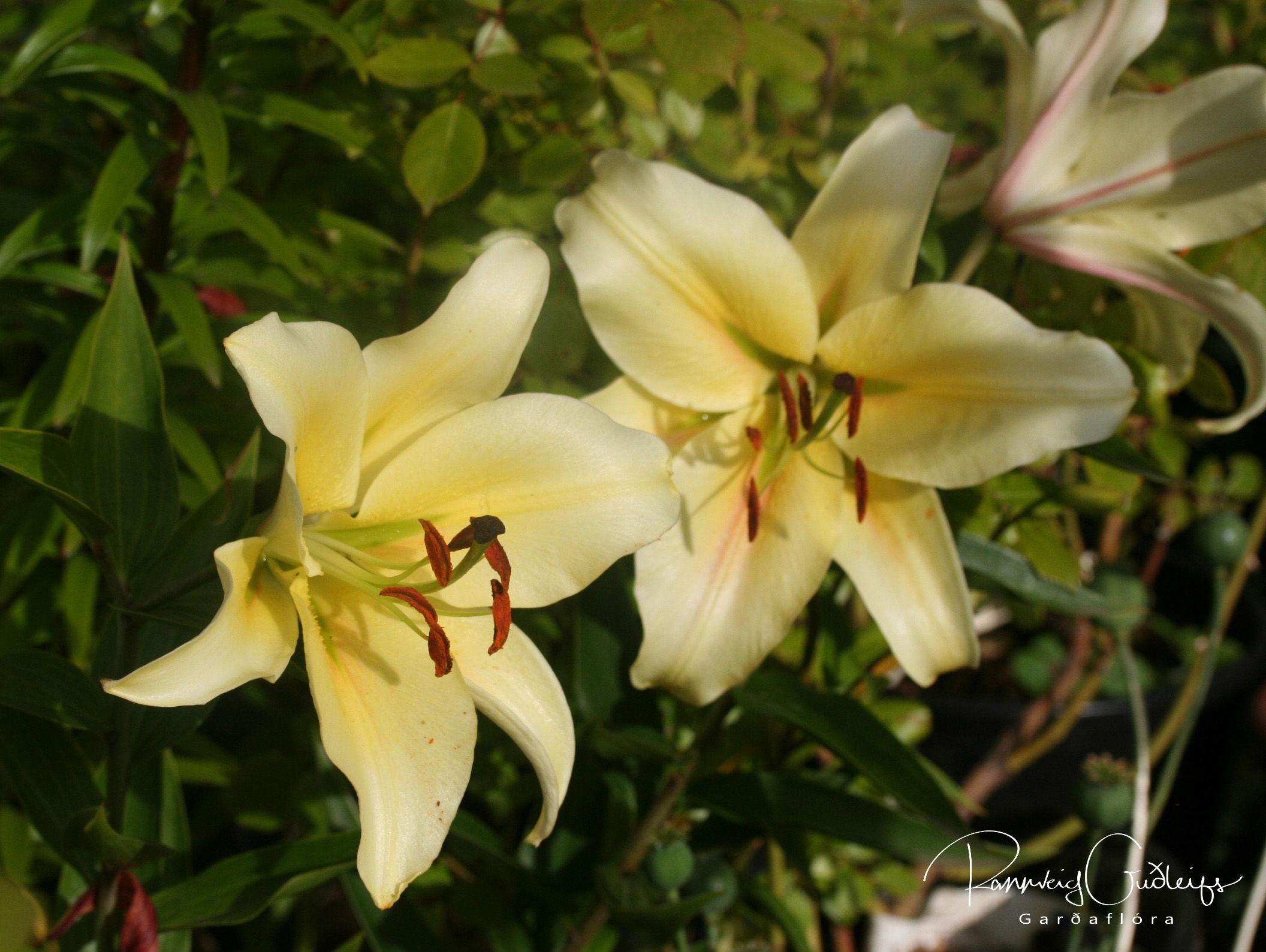 Lilium 'Honeymoon'