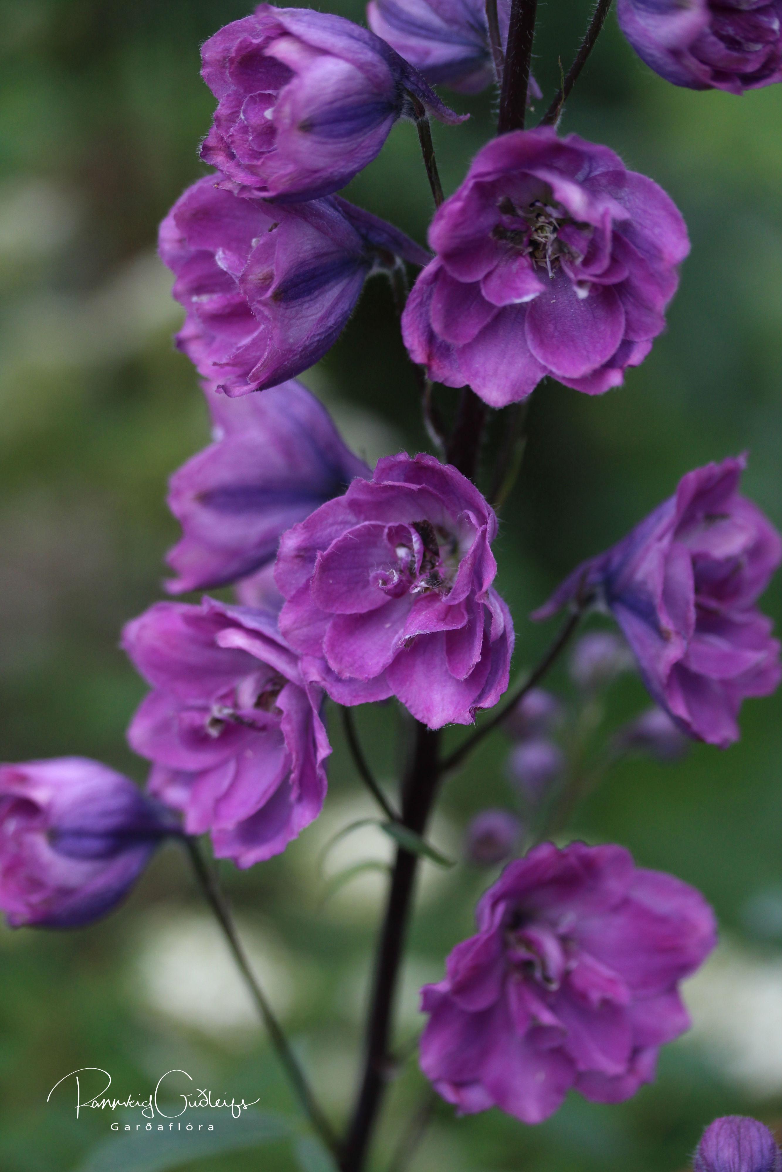 Delphinium x cultorum 'Dusky Maidens'