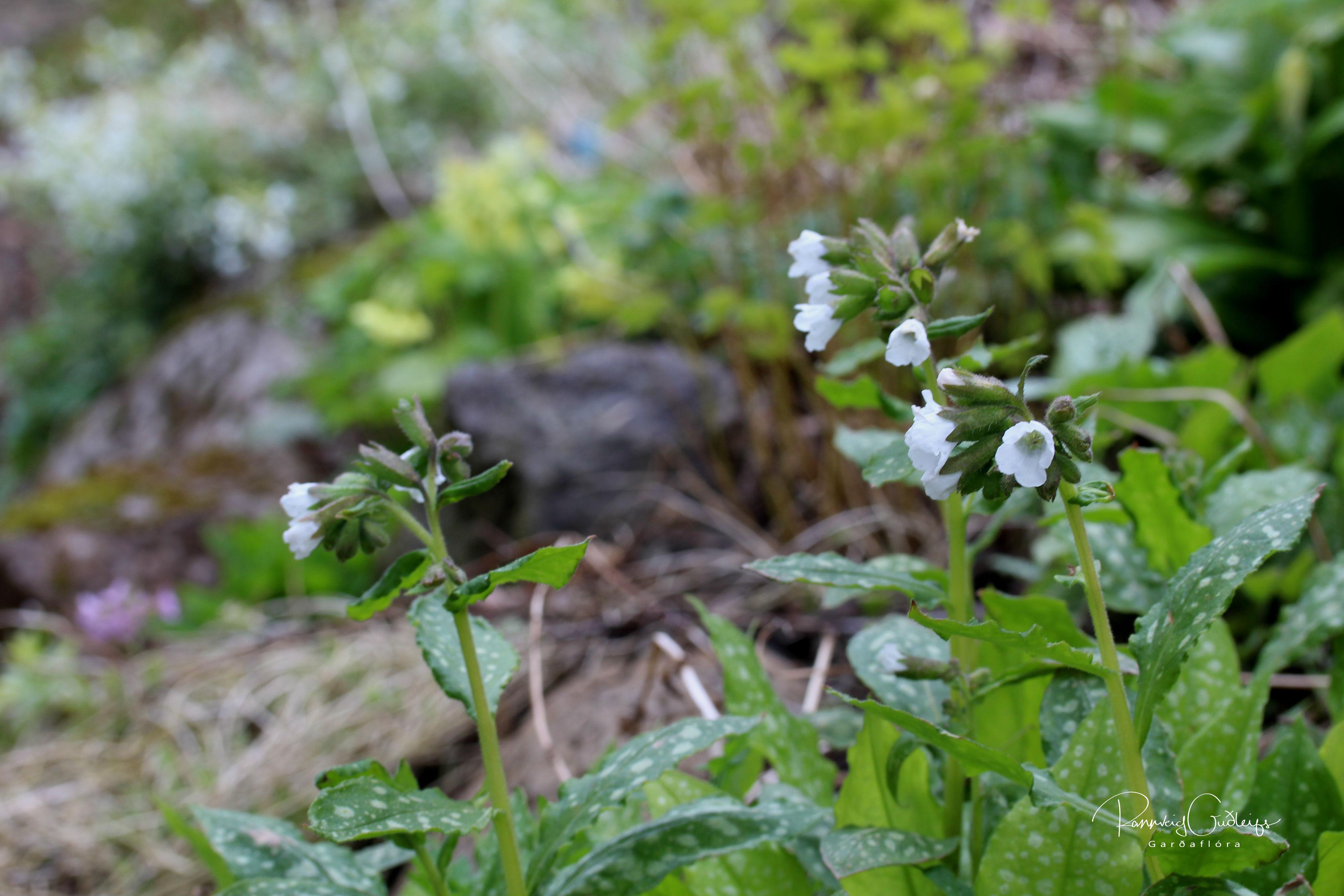 Pulmonaria 'Sissinghurst White'