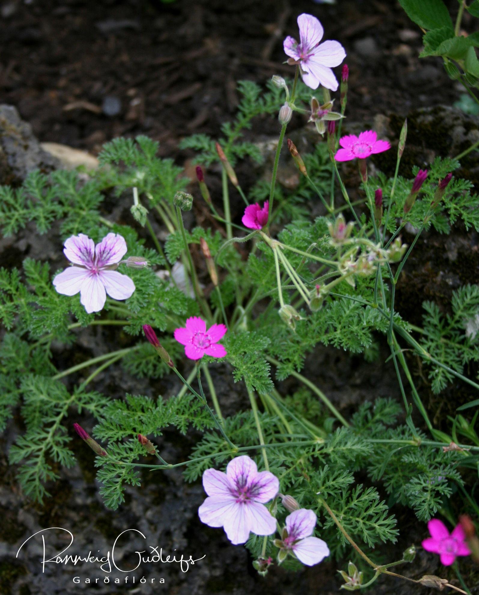 Erodium petraeum