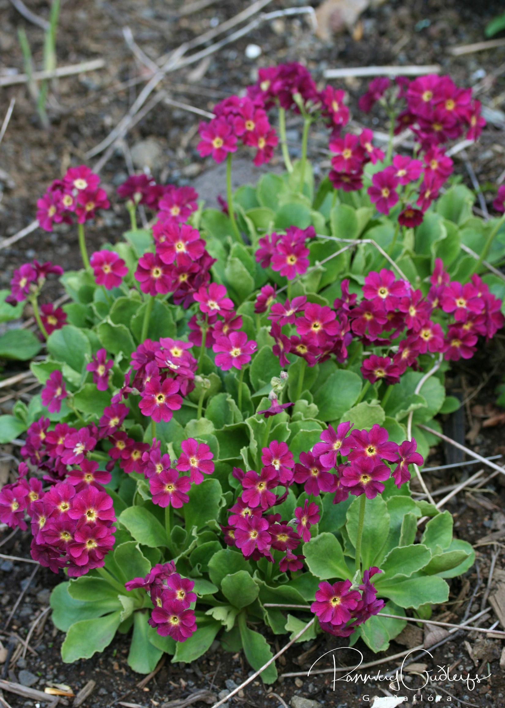 Primula x pubescens