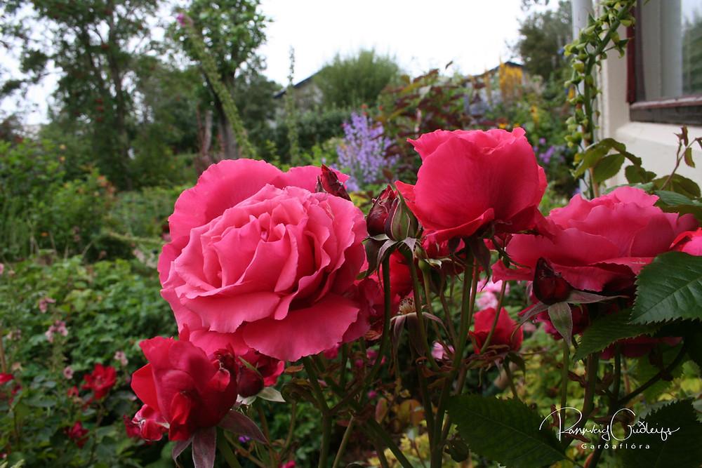 Rosa 'Duftwolke', Rosa 'Fragrant Cloud', coral red rose, hybrid tea rose