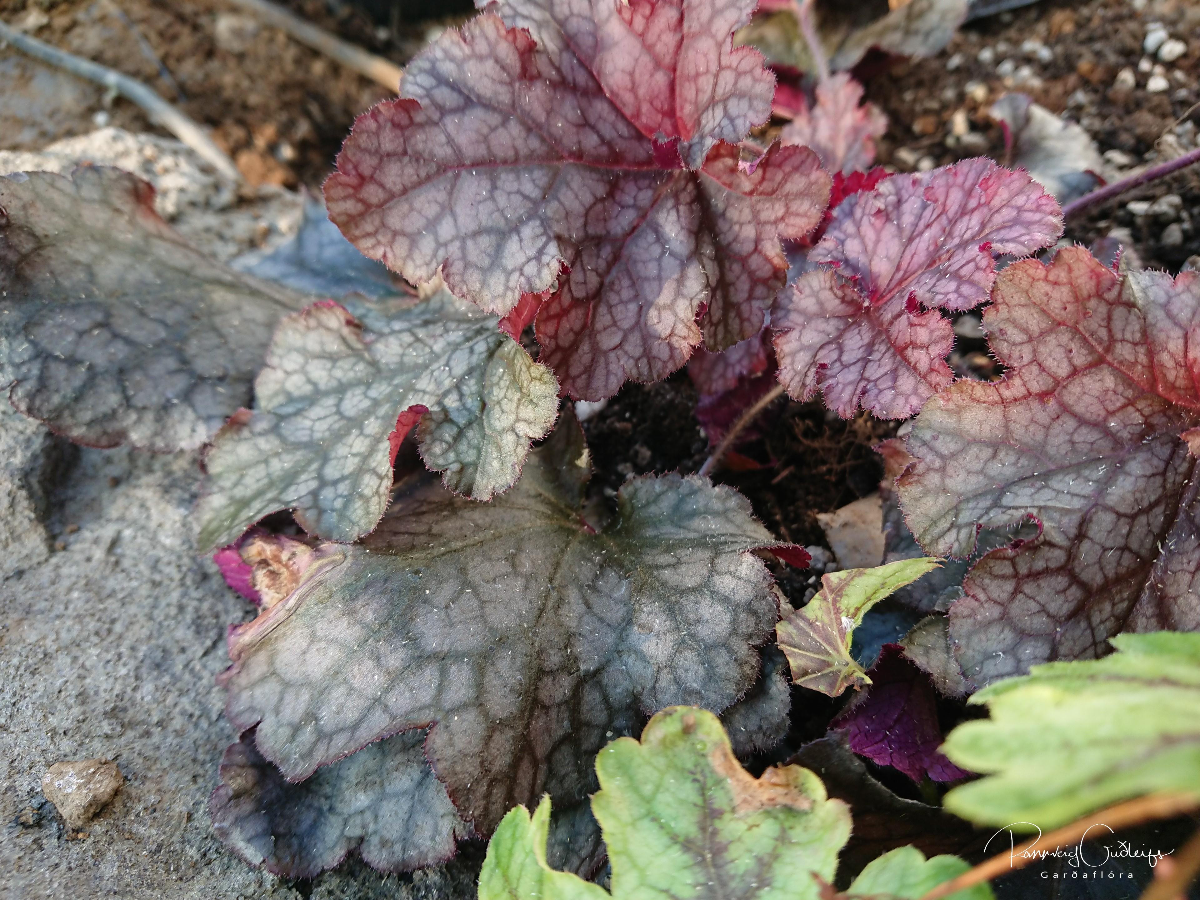 Heuchera 'Berry Marmalade'